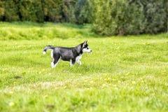 El perrito fornido en el césped Imagenes de archivo