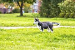 El perrito fornido en el camino Imagen de archivo libre de regalías