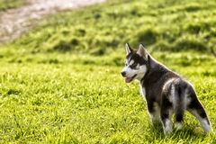 El perrito fornido mira detrás Fotos de archivo