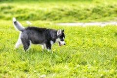 El perrito fornido que camina en la hierba Imágenes de archivo libres de regalías