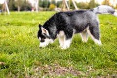 El perrito fornido que huele la hierba Vista lateral Fotos de archivo libres de regalías