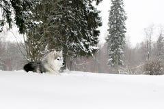 El perrito fornido que pone en nieve Foto de archivo libre de regalías