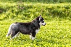 El perrito fornido se coloca en un claro Vista lateral Foto de archivo libre de regalías