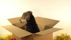 El perrito hermoso se sienta en una caja del franqueo con las decoraciones de la Navidad y del Año Nuevo almacen de metraje de vídeo