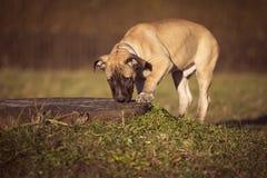 El perrito huele la hierba en un paseo Fotografía de archivo libre de regalías