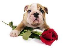 El perrito inglés del dogo con la tarjeta del día de San Valentín se levantó. imagenes de archivo