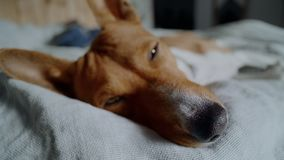 El perrito lindo adorable cae dormido en sol metrajes