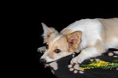 El perrito lindo comió la flor y la reclinación sobre la litera fotos de archivo libres de regalías