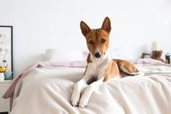 El perrito lindo del basenji pone en cama rosada imágenes de archivo libres de regalías