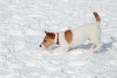 El perrito lindo del terrier de Russell del enchufe es que juega y de salto en la nieve blanca Animales de animal doméstico foto de archivo libre de regalías