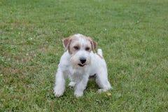 El perrito lindo del terrier de Russell del enchufe está jugando en un prado verde Animales de animal doméstico fotografía de archivo