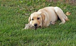 El perrito mastica en roca Fotos de archivo libres de regalías