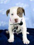 El perrito mezcló el perro de la raza con las etiquetas de la identificación y la etiqueta de la rabia Imágenes de archivo libres de regalías