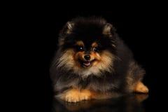 El perrito miniatura del perro de Pomerania de Pomeranian en negro aisló el fondo Fotografía de archivo