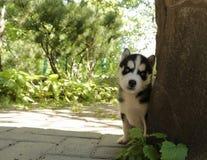 El perrito mira hacia fuera de detrás el árbol fotografía de archivo