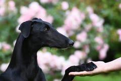 El perrito negro de Galgo Espanol da la pata Imagen de archivo