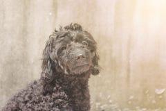 El perrito negro del caniche se está sentando afuera, haciendo la luz suave Fotografía de archivo libre de regalías