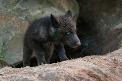 El perrito negro del lobo (lupus de Canis) sube fuera de guarida Fotos de archivo libres de regalías