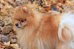 El perrito pomeranian anaranjado se está colocando en el parque del otoño Imágenes de archivo libres de regalías