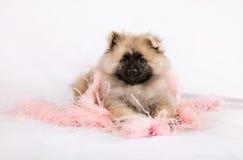 El perrito Pomeranian está mintiendo en plumas rosadas Imagen de archivo
