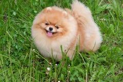 El perrito pomeranian lindo del perro de Pomerania está mirando la cámara Zwergspitz o perro de Pomerania del deutscher imagen de archivo
