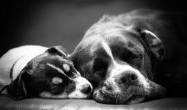 El perrito precioso parece dulce Terrier criado en línea pura de Jack Russell foto de archivo