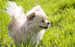 El perrito se coloca en hierba Imagenes de archivo