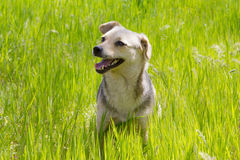El perrito sonriente se sienta con la boca abierta en la hierba verde imágenes de archivo libres de regalías