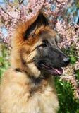El perrito tervuren Fotos de archivo