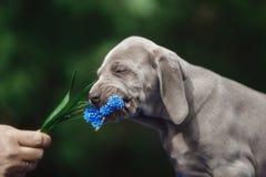 El perrito Veimaraner quiere comer una flor azul imagenes de archivo