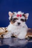 El perrito York del terrier del castor Imagen de archivo