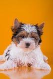 El perrito York del terrier del castor Foto de archivo libre de regalías