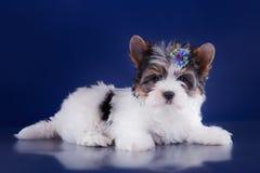 El perrito York del terrier del castor Fotos de archivo