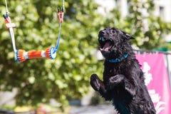 El perro abre la boca y extiende en aire al objeto del gancho agarrador Fotos de archivo