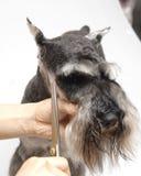 El perro acaricia el Schnauzer estándar fotos de archivo