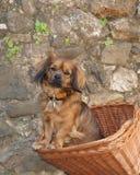 El perro adorable se sienta en cesta de la bicicleta Fotos de archivo