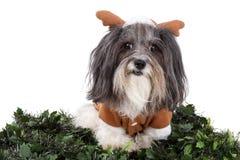 El perro adorable se vistió para arriba como reno para la Navidad fotografía de archivo