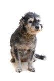 El perro aislado en blanco Foto de archivo