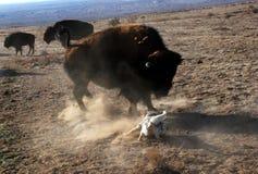 El perro ajusta apagado con el bisonte del búfalo Foto de archivo libre de regalías