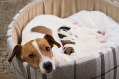El perro alimenta los perritos, Jack Russell Terrier fotografía de archivo libre de regalías