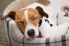 El perro alimenta los perritos, Jack Russell Terrier foto de archivo libre de regalías