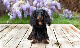 El perro basset de pelo largo se sienta en los tablones de madera Fotografía de archivo