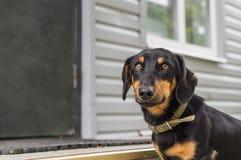 El perro basset del perrito Foto de archivo libre de regalías