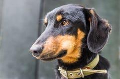 El perro basset del perrito Fotos de archivo libres de regalías