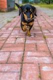 El perro basset del perrito Imagen de archivo libre de regalías