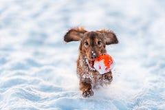 El perro basset divertido del perro salta para arriba en parque del invierno fotos de archivo