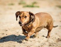 El perro basset fue para un paseo Imagen de archivo libre de regalías