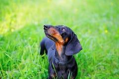 El perro basset liso-cabelludo negro entre la hierba verde mira para arriba Imagen de archivo libre de regalías