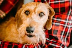 El perro basset Wirehaired se sienta en manos de la señora Ciérrese encima del perro Por Imágenes de archivo libres de regalías