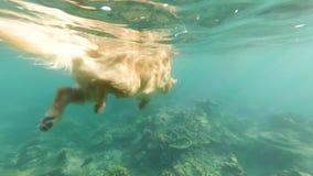 El perro beige, Labrador, flota en el mar entre los arrecifes de coral Visión debajo del agua almacen de video